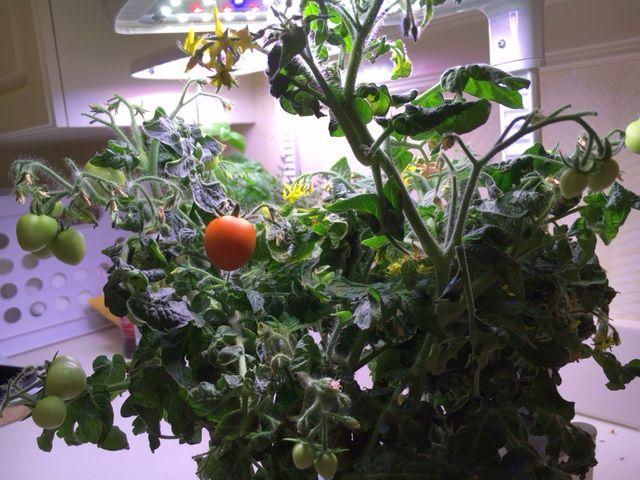 inside tomatoes